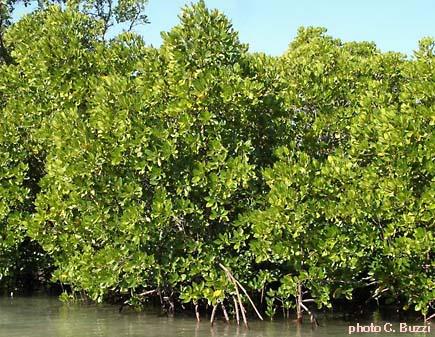 reconna tre les arbres de la mangrove sixi me. Black Bedroom Furniture Sets. Home Design Ideas