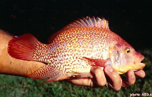 La croissance du gueule rouge tilapia avec la for Poisson rouge artificiel