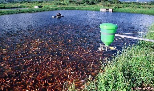 La croissance du gueule rouge tilapia avec la for Elevage poisson rouge