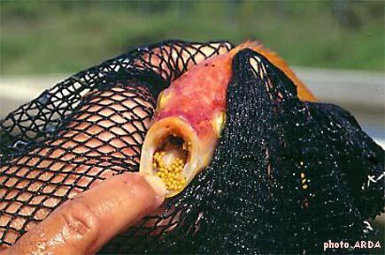 L 39 levage du gueule rouge avec la collaboration du centre for Elevage poisson rouge